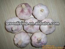 Fresh organic normal white garlic