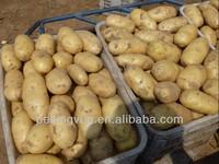 fresh yellow potato FOR DUBAI MARKET 2013