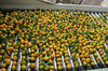 2013 new crop Fresh Baby Orange-factory supplying