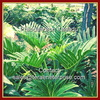 Fresh Cut Philodendron Xanadu Foliage