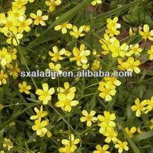 Ranunculus ternatus Thunb. P.E/ Radix Ranunculi Ternati extract/ Macfadyena