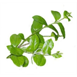 Top Quality 100%Pure Gymnema Extract/Herb Extract/Plant Extract with25%Gymnemic Acid Pharmaceutical raw materials