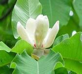Plant extract Honokiol