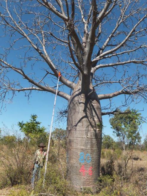 Adansonia gregorii, Boab, Baobab, Landmark High End.