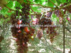 fresh grapes ( Superior - Crimson - Thompson - Flame - Red Globe )
