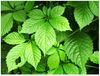 Gynostemma P.E.(Pentaphyllum Extract) Gypenoside 98%