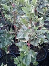 Jujube graft plant