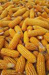 corn/maize