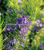 Rosemary Oleoresin 100% natural