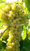 Yellow Globe Grape