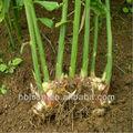 la exportación de la agricultura en vinagre de jengibre jengibre de salmuera