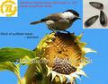 Negro de aceite de girasol semillas como canario semillas para pájaros acuotubulares