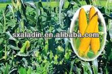 corn poppy bee pollen buccal tablet