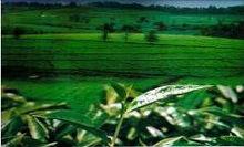 Ethiopian highland tea
