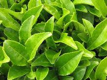 green tea for sale