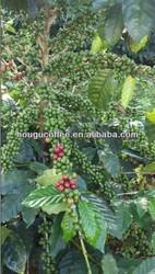 New Crop Arabica Coffee Beans