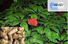 Panax notoginseng San qi /Tian qi dry herb improve sleep stop bleed