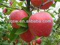 china 2013 cosecha fresca de manzana fuji