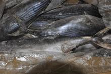 A garde 1kg up whole round frozen bonito tuna (sarde sarde)