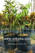 Musang King durian plant