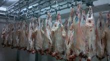 Fresh Lamb Meat, Live sheep.goat.cattle