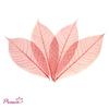 Skeleton Rubber Tree Leaf