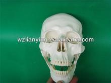 Life-Size Plastic Skull For Sale