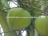 Tender Coconut /Fresh Young coconut Suppliers from India