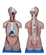 85cm 23 Parts human anatomy unisex body torso model