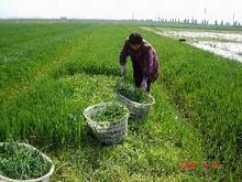 Cevada Grass em pó contém solúveis e insolúvel fibra para a gestão de peso