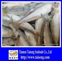 Sardine fish scientific name Sagax Sardinella fish