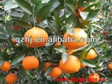 chinese fresh mandarin oranges