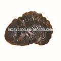 Fósil de muestras, Trilobite