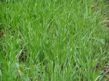 Wheatgrass pó da fibra dietética contém solúveis e insolúvel fibra para a gestão de peso