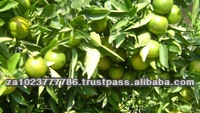 Fresh lime frozen lime new crop