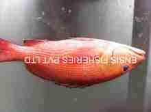 Fresh Reef Fish Whole