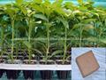 Cocco torba per le aziende agricole(fiori, vegetale, frutta)