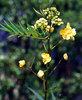 indian herbs (SENNA LEAVES)