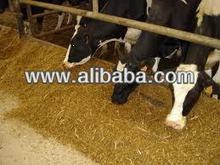 Composto alimentar para vacas leiteiras e alimentação do gado