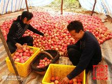 buy apples wholesale pink lady apple