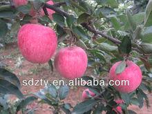 apple fresh fruit wholesale fresh red apple fruit