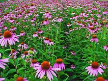 Echinacea Purpurea Extract; Echinacea Purpurea 4% Polyphenols Extract; Echinacea Purpurea Ratio Extract