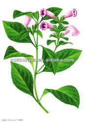 Factory price dyers woad leaf extract, folium isatidis extract 4:1 10:1 20:1