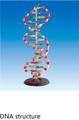 modelo de enseñanza de adn de modelo de estructura biológica fisiológica y modelos