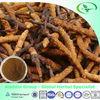 cordyceps yarsagumba cordyceps sinensis extract powder