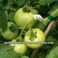 Baratos diferentes tipos de tomate injerto Clips