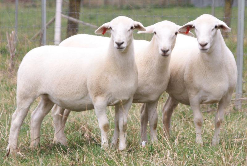 Australian White Lambs