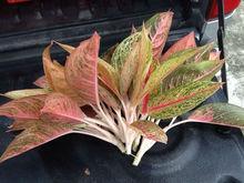 Aglaonema cuttings