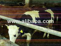 Live bulls for slaughering
