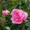 olio di rosa damascena 5ml
